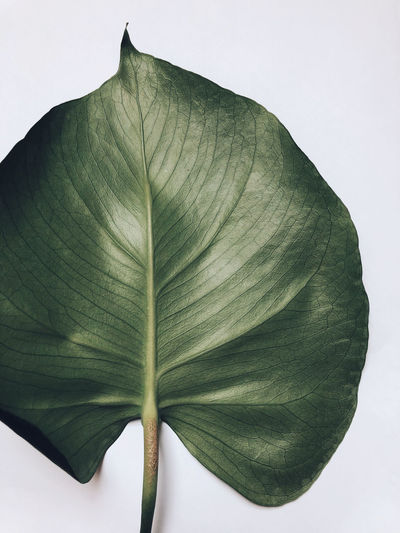 Life Leaf Green Color White Background Freshness Close-up Plant Plant Part Studio Shot Nature Nature_collection Naturelovers Beauty In Nature Growth Piece Daylight Light Minimalism Minimal Pattern Natural Pattern Textured  Veins Monstera Still Life