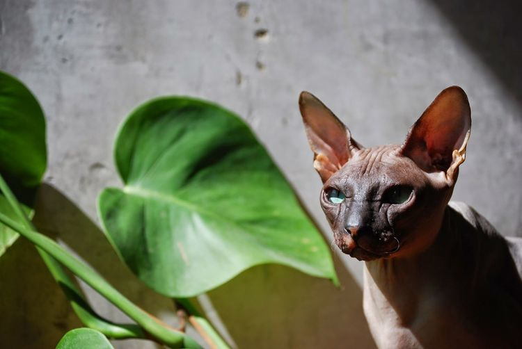 Close-Up Of Sphynx Against Plant In Yard