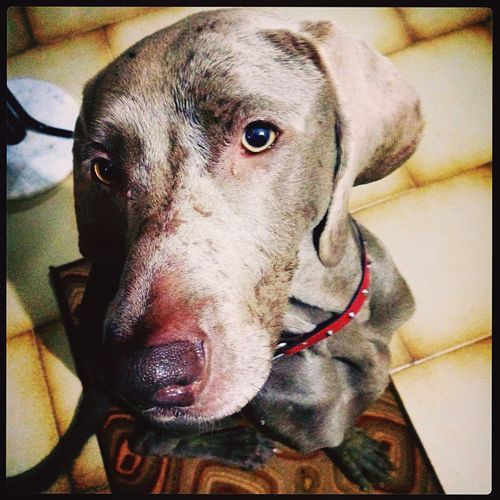 Rainy day ? Weimaraner I Love My Dog Heklaweimaraner Dog