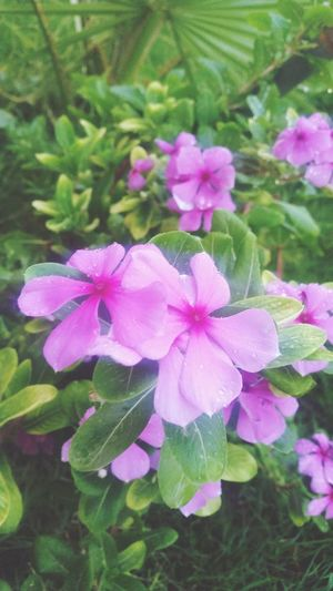 Flower Freshness Beauty In Nature Nature Fragility Growth Flower Head Plant Petal Blooming Close-up Periwinkle Wet Water Day No People Outdoors Morning Backyard Garden