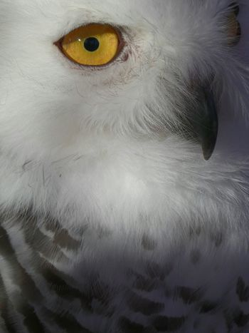 Maximum Closeness Owl Portrait Yellow Eyes Eyeball Bird Close-up White Grey Feathers Of A Bird Beauty In Nature Feathers, Soft, Contrast, Light, Delicate, Fragile, Light And Dark Owl Eyes Owl Portrait. EyeEm Gallery EyeEm Best Shots Eye For Photography Feathers