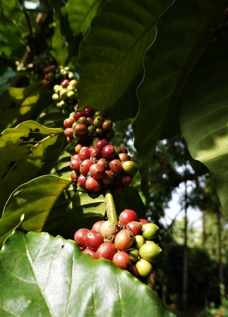 Coffee seeds Beauty In Nature Coffee Beans Coffee Seeds Coffee Tree Day Freshness Green Color Growth Healthy Eating Leaf Low Angle View Nature Outdoors Plant Tree