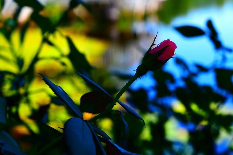 North Carolina Ncnature Nature Photography Roses Rosebud Pink Rose Flowers Lake View Color Photography Outdoor Photography