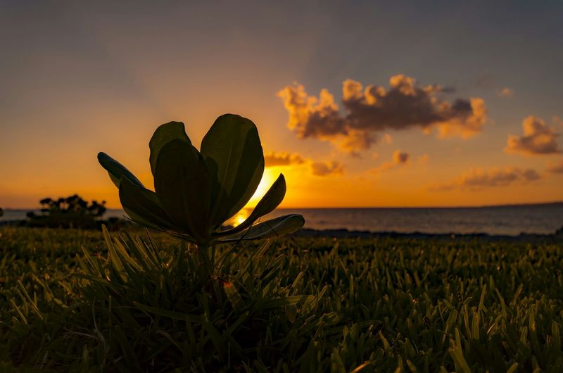 Close-Up Of Plant Growing On Grassy Field Against Sky During Sunset