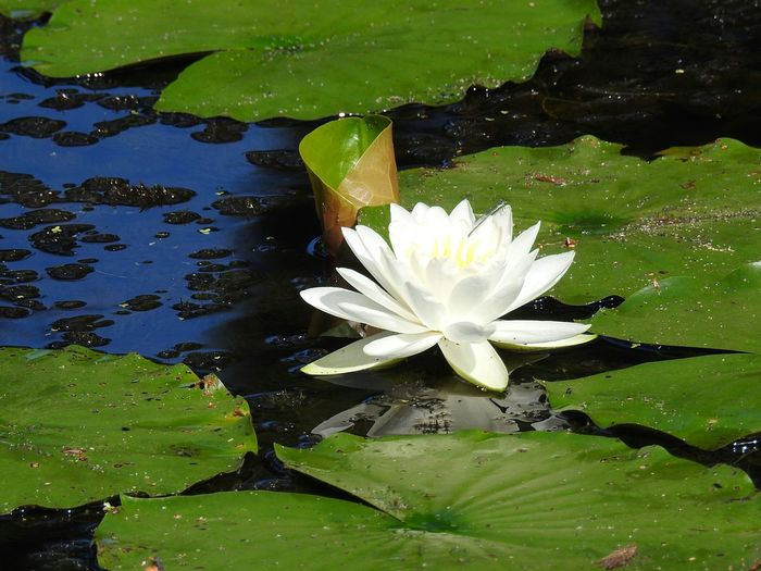 lotus flower and lily pads Greenery Aquatic Aquatic Life Pond Pond Life Pond Lily White Lotus White Lotus Flower White Flower White Water Lily Water Reflection Flower Head Flower Water Lily Pad Lotus Water Lily Leaf Water Lily Floating On Water Petal Lotus In Bloom Lily Blooming Stamen Single Flower Botany Blossom Plant Life