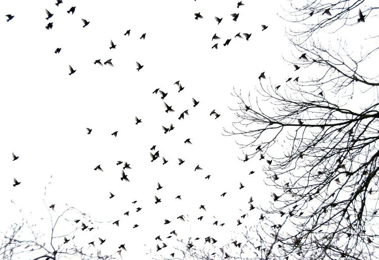 Birds of a feather Large Group Of Animals Bird Animal Themes Animals In The Wild Group Of Animals Animal Animal Wildlife Flock Of Birds Flying Sky Low Angle View Silhouette Nature Mid-air Tree Beauty In Nature No People Motion