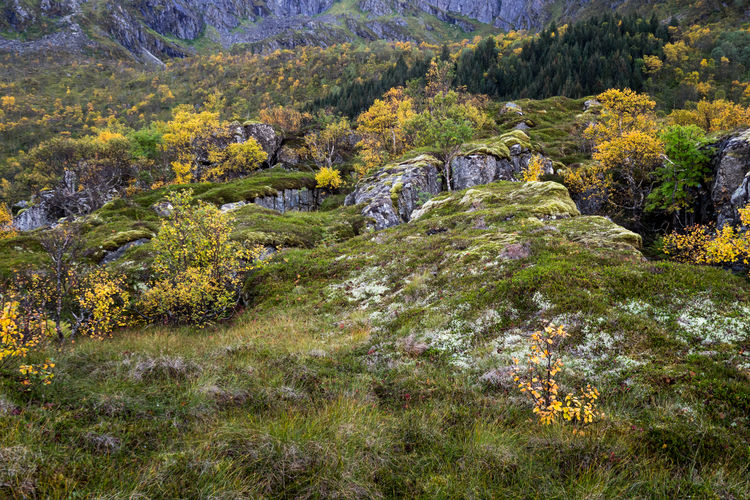 Autumn Autumn Colors Autumn Leaves Beauty In Nature Day Forest Landscape Leaf Leafs Leaft Lofoten Lofoten Islands Mountain Nature No People Norway Outdoors Scenics Tranquil Scene Tranquility Tree