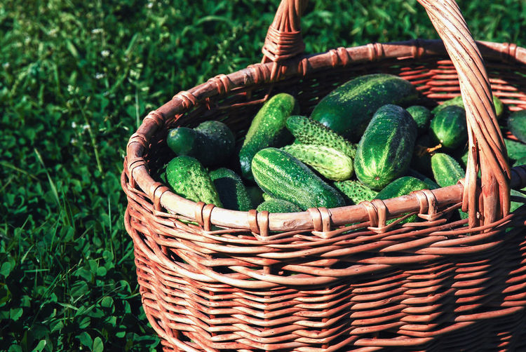 Harvested cucumbers in a wicker basket on green grass