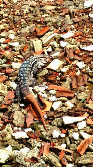 Close-up Lizard Reptile Gecko Exotic Pets