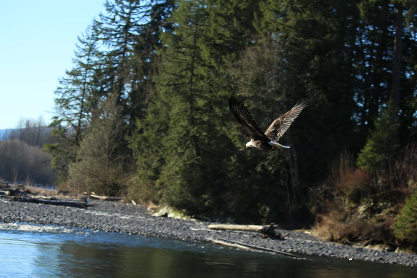 Beauty In Nature Eagle Eagle Flying Eagle In Flight Eagle In Motion Eagle Portrait Eaglephotography Perfect Eagle Picture