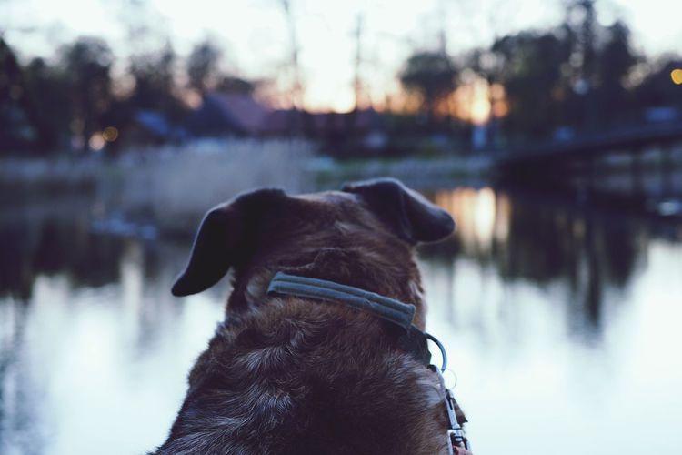Landscape Peaceful View Sunset Sunrays Lakeside Reflection Waterreflection Dogs Hike Pets Water Dog Lake Close-up Mixed-breed Dog My Best Photo