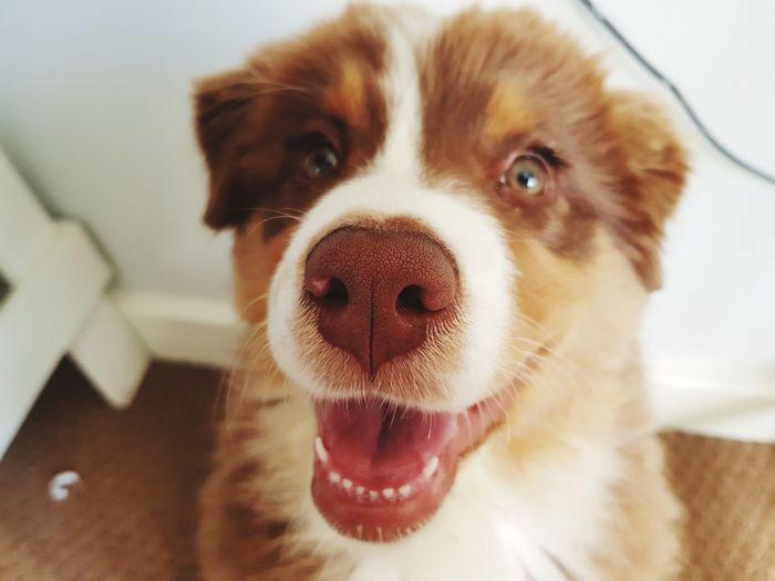 Meet little Willow 💚 EyeEm Selects Pet Portraits Australian Shepherd  One Animal Puppy Domestic Animals Dog Beauty In Nature