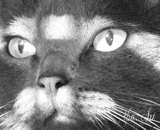Animal Head  Animal Themes Close-up Day Domestic Animals Domestic Cat Feline Indoors  Looking At Camera Mammal No People One Animal Pets Portrait Whisker