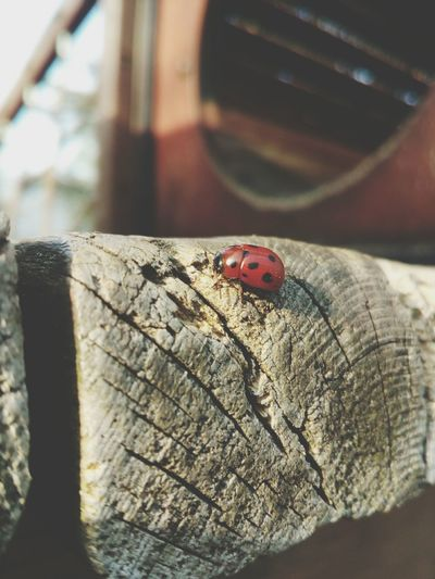 Wildlife & Nature Ladybug Wood - Material Nopeople Focus On Foreground Showcase April Spring Life PhonePhotography Phoneography smartphones can make nice Close Up shoots to
