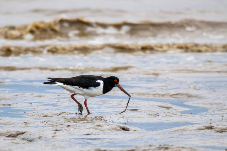 Oyster catcher with a worm or fluke from mud flats on the coastline of bradwell on sea, essex, uk