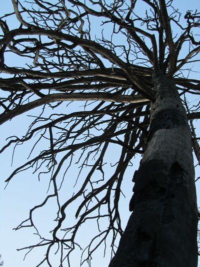 Bare Tree Black