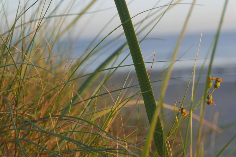 Belgische kust No Filter, No Edit, Just Photography Beach Plant Growth Grass Beauty In Nature Nature Tranquility No People Sky Close-up Green Color Focus On Foreground Water Day Blade Of Grass Outdoors EyeEmNewHere