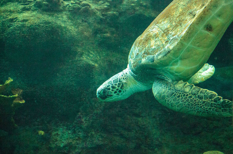 Green Sea Turtle Chelonia mydas swims along a coral reef. Chelonia Mydas Chelonian Sea Turtle Animal Animal Themes Animal Wildlife Animals In The Wild Green Sea Turtle Green Sea Turtles Marine Nature No People Pacific Sea Turtle Sea Sea Life Sea Life. Turtle UnderSea Underwater Water