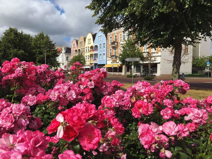 • Schönes Cuxhaven • Downtown Roses Urban Landscape Cuxhaven Plant Flowering Plant Flower Tree Growth Nature Beauty In Nature Architecture Day Outdoors No People Sunlight Pink Color Freshness
