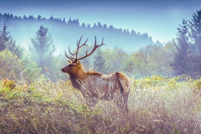 Majestic Creature Majestic Animal Wilderness Area Wilderness USA Morning Mist Morning Dew California Redwoods RedwoodsNationalPark Majestic Nature Majestic Elk Antler Deer Animal Themes Animals In The Wild Stag Field One Animal Grass Tree Animal Wildlife Mammal Outdoors Beauty In Nature Forest