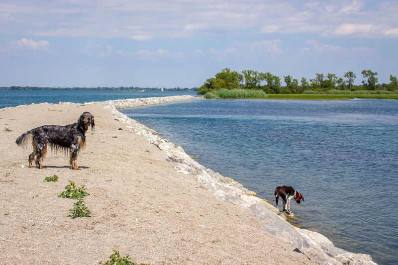 Milkbone beach Detroit River German Shorthair Pointer  River View Stoney Island Animal Themes Beach Beauty In Nature Cloud - Sky Dike Dog English Setter Michigan Outdoors No People Outdoors Pets Sky Water