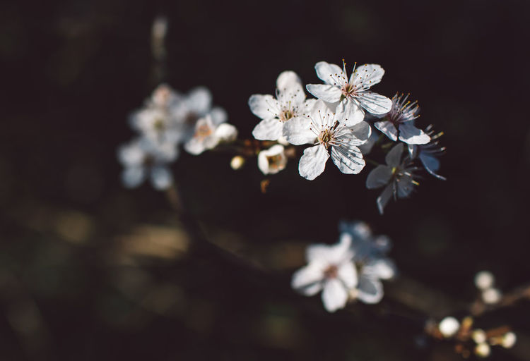 Springtime Decadence Flower Flowering Plant Plant Fragility Beauty In Nature Vulnerability  Freshness Growth Close-up Selective Focus Blossom White Color Nature Springtime No People Petal Inflorescence Flower Head Pollen Cherry Blossom Outdoors Cherry Tree