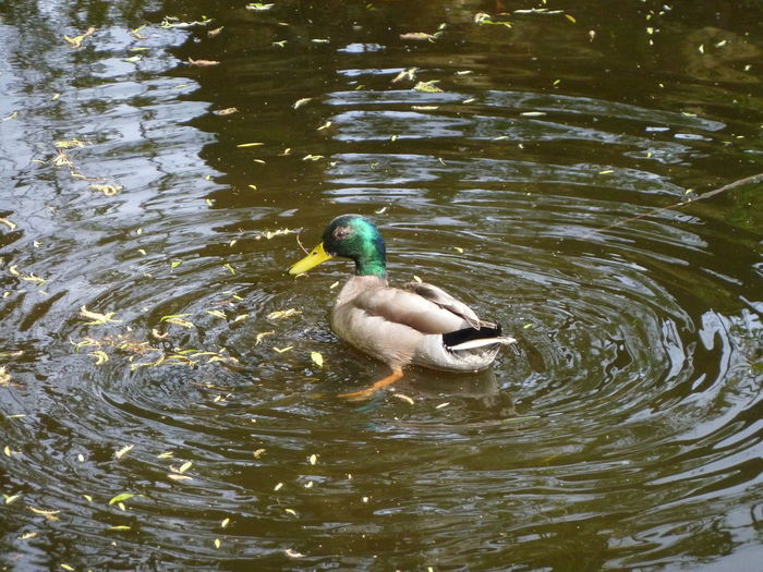 Circles Duck Erpel Kreise Ziehen Lake Reflections In The Water Water Waterbird