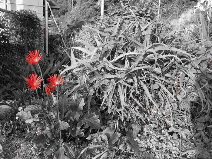 The Street Photographer - 2017 EyeEm Awards The Great Outdoors - 2017 EyeEm Awards Plants Blackandwhite Monochrome Pointred Growth Plant Flower Isolated Color Red Nature Beauty In Nature Fragility Gerbera Wildflowers Live For The Story EyeEmNewHere Place Of Heart Beauty In Nature 세계 高浜 Ehime Countryside Canonphotography Visual Creativity