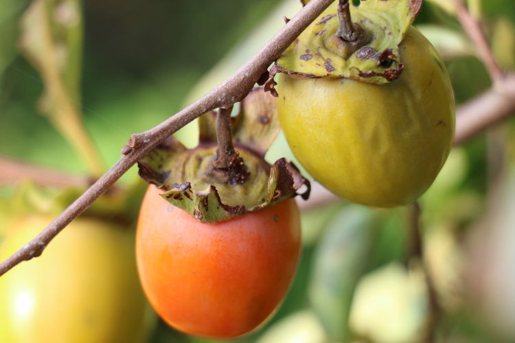 Close-up of persimmons growing on tree