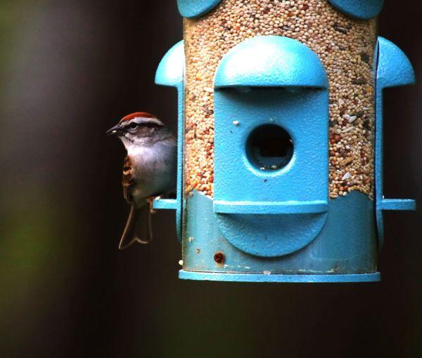 Bird No People Close-up Day Outdoors Bird Feeder Hanging Sparrow Bird