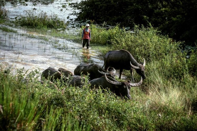 High Angle View Of Buffaloes And Shepherd In River