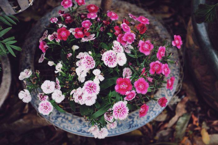 Hoa cẩm chướng. Flowers Hoa Pink