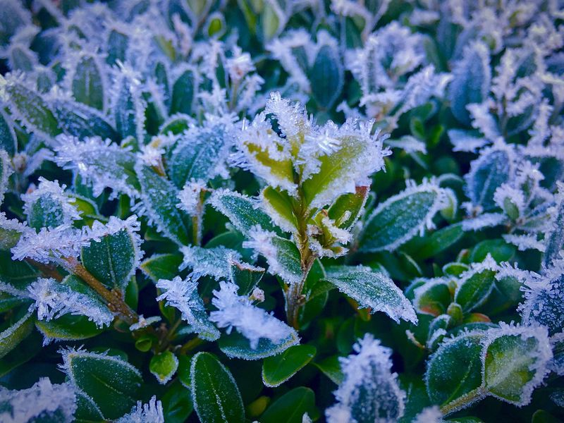 Frostkristalle... Pflanzen Frozen Nature Frozen Frost Buchsbaum Leaf Plant Flower Nature Beauty In Nature No People Growth Close-up Full Frame Fragility Green Color Petal Day Outdoors Freshness Winter Flower Head Nature Reserve Backgrounds