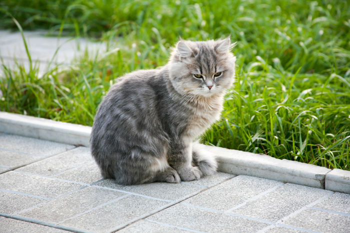 Gray fluffy kitten sitting near a green lawn Cute Pets Furry Friends Animal Themes Close-up Cute Cute Animals Cute Cats Day Domestic Animals Domestic Cat Feline Fluffy Furry Grass Gray Cat Kitten Mammal No People One Animal Outdoors Pets Portrait Sitting Whisker