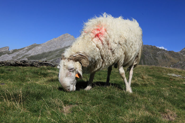 Domestic ram grazing at high altitude in Pyrenees mountains Feeding  Grazing Sheep RAM Animal Themes Clear Sky Domestic Animals Field Fur Grass Grazing Horn Horned Horned Animals Livestock Mammal Mountain Nature One Animal Outdoors Sheep Whool