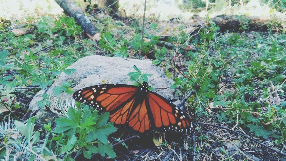 Mariposa MariposaMonarca Michoacan Santuario