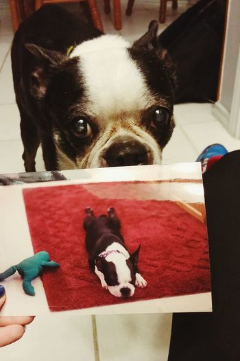 Maddie at 15, and as a puppy Pets Dog Domestic Animals Indoors  Looking At Camera Portrait Terrier Boston Terrier Loved Rip Belovedpets Dogs Of EyeEm Dog Love Dog Photography Portraiture Portraits Portrait Of A Friend Bostonterrier Old Aged Aged Beauty Gone But Not Forgotten