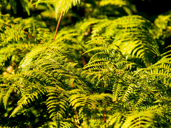 Ferm Green Nature Background Backgrounds Beauty In Nature Close-up Environment Fern Flora Floral Freshness Green Color Growth Leaf Nature No People Outdoors Pattern Shadow Texture Wallpaper