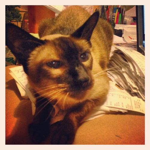 Cairo my Siamese helping me do Book work!!
