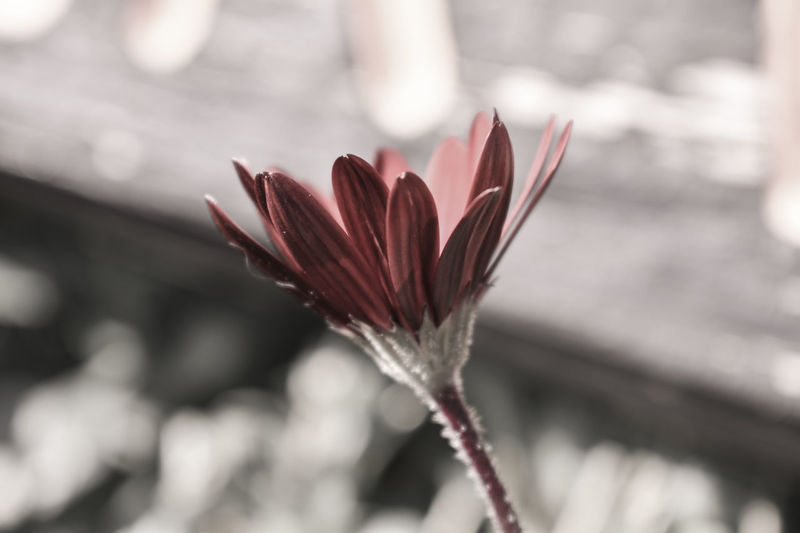 Flower Red Close-up Plant Nature Fragility Beauty In Nature No People Closing Outdoors Beauty Freshness Day Flower Head Plant Australia EyeEm Selects EyeEm Nature Lover The Week On EyeEm Botany Herb Growth Freshness Plant Part Seasoning