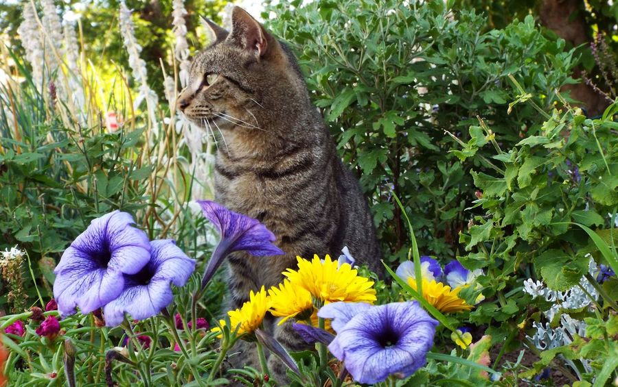 Animal Photography Beauty In Nature Blooming Cat Cat In Flower Garden Cat In Garden Cat Portrait Cats Of EyeEm Floral Green Color Kitty Kitty Cat Nature Nature Photography Nature_collection No People Outdoors Pet Photography  Pets Pets And Flowers Pets Corner Purple Purple Petunias Tabby Cat Tiger Cat