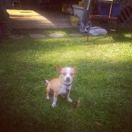 Bobby being dumb Dumb  Animals Dumbanimals Animal dumbdog dog chihuahua