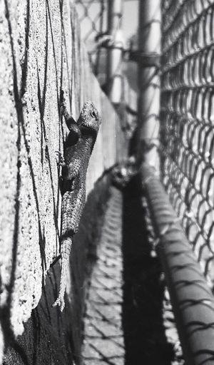 Gecko Wall Park Fence Right Lane Must Turn Right Q Showcase March Pineapple🍍 Blackandwhite Photography Blackandwhite Black And White Outdoor Photography Streetphotography Brick The Photojournalist - 2016 EyeEm Awards The Portraitist - 2016 EyeEm Awards