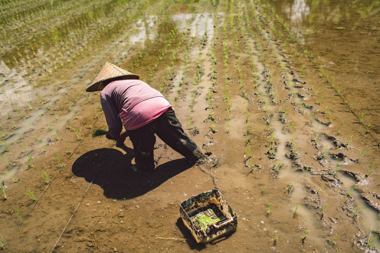 High angle view of woman working in a rice field