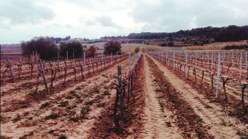 Landscape Vineyards  Mobile Photography