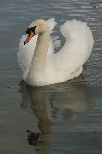 Love on the lake Swan White Lake Float White Swan Bird Beautiful Swan Beautiful