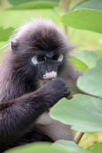 Animal Hair Animal Head  Animal Themes Close-up Day Domestic Animals Domestic Cat Dusky Leaf Monkey Feline Focus On Foreground Green Color Kitten Langkawi Mammal Monkey Monkey Eating No People One Animal Pets Whisker Zoology