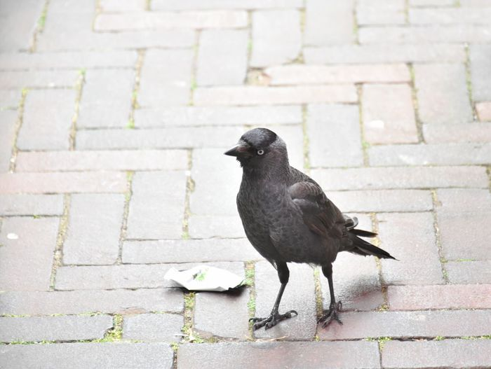 Animal Animal Themes Animal Wildlife Animals In The Wild Architecture Bird Black Color City Cobblestone Crow Day Footpath Full Length No People One Animal Outdoors Paving Stone Stone Street Vertebrate Wall