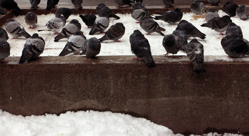 Photos taken in and around Toronto, new years 2019. Pigeons Roosting Winter Snow Group Of Animals Crowd Animal Wildlife Day Large Group Of Animals Bird Outdoors