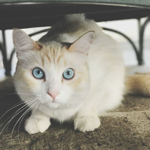Bright cat Blue Eyes Domestic Pets Domestic Animals Cat Domestic Cat Feline One Animal Close-up Looking At Camera Looking Whisker Indoors  No People Mammal Animal Eye Vertebrate Portrait Focus On Foreground